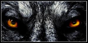 wolf-eyes-wallpaper1.jpg